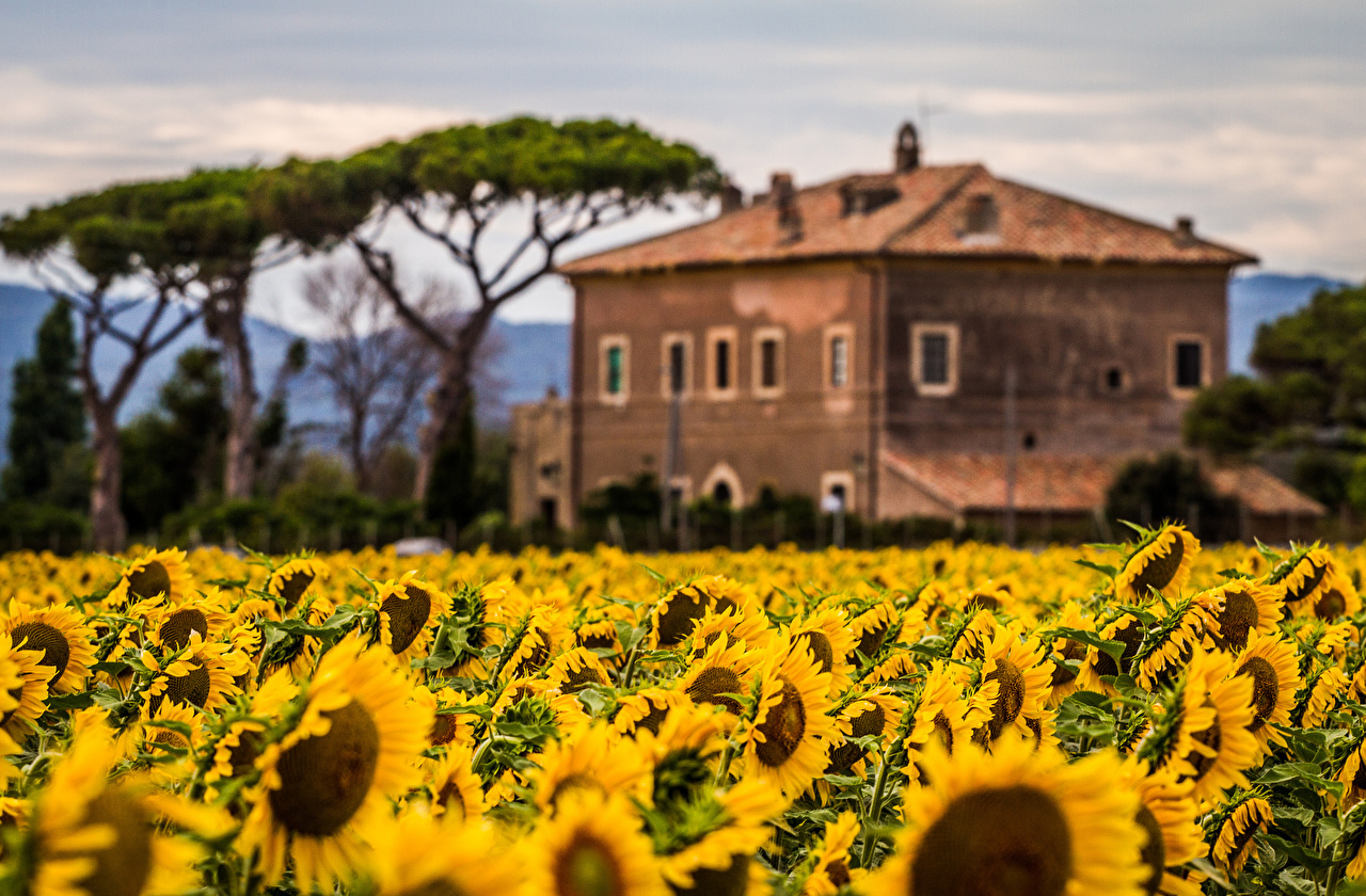 Photos Flowers Helianthus Building flower Sunflowers Houses