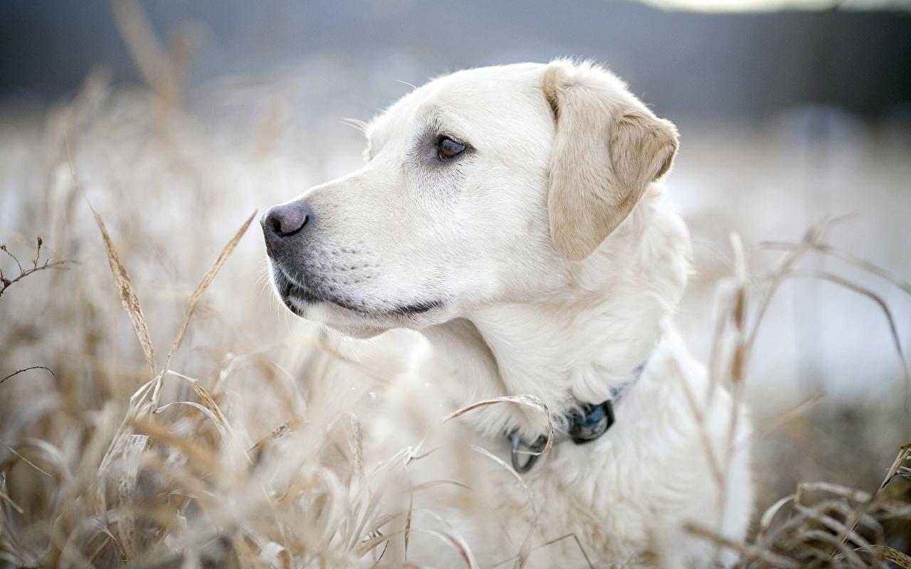 Picture animal Retriever Dogs White Grass Closeup Labrador Retriever Animals dog