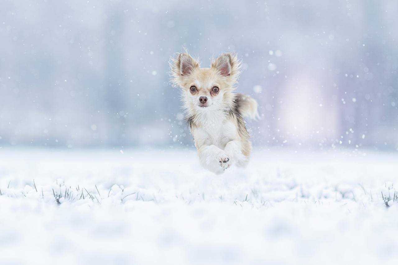 Fotos von Chihuahua hund Laufen Winter Schnee Sprung Tiere Hunde Lauf Laufsport ein Tier