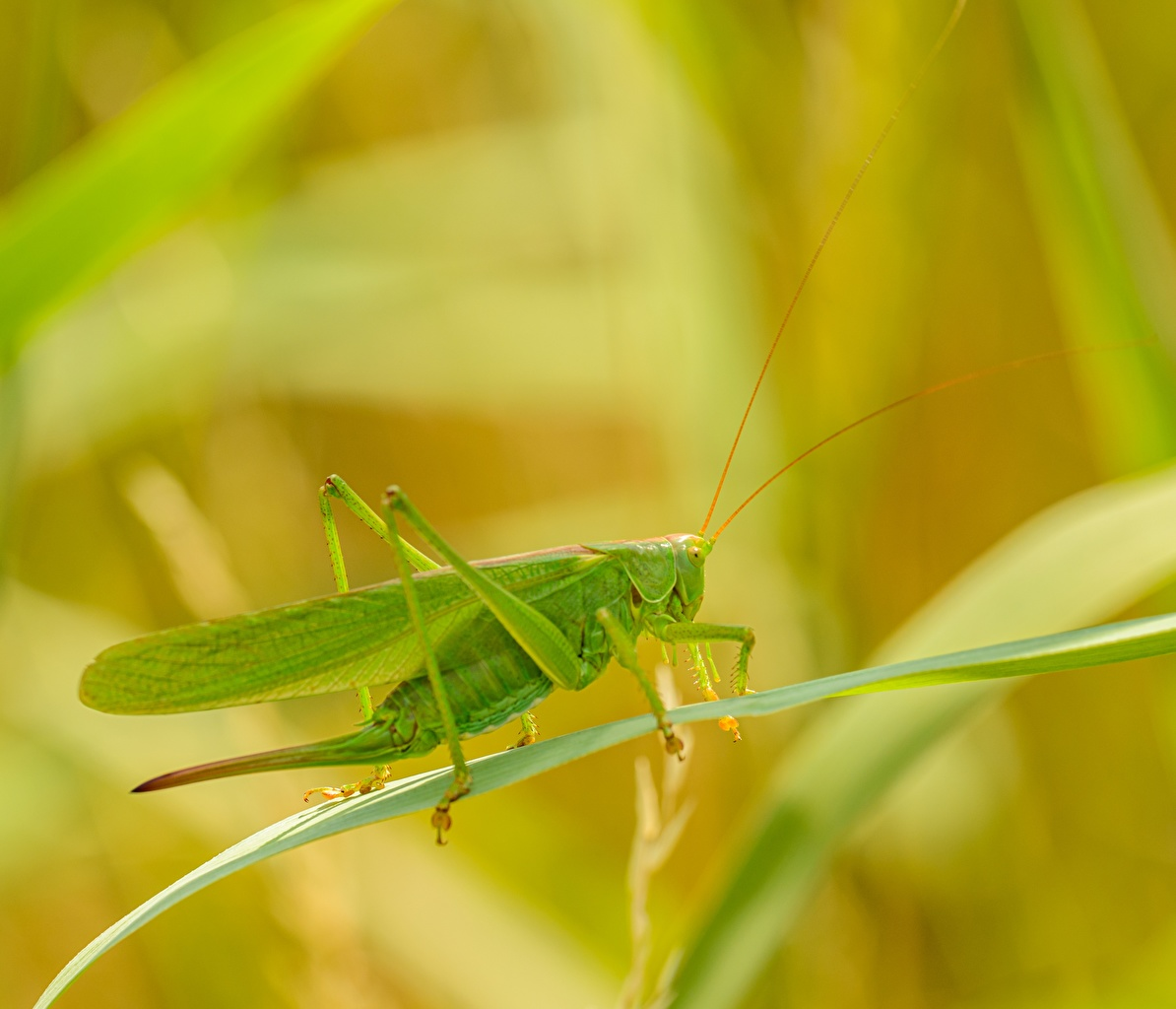 Picture Grasshoppers blurred background animal Closeup Bokeh Animals