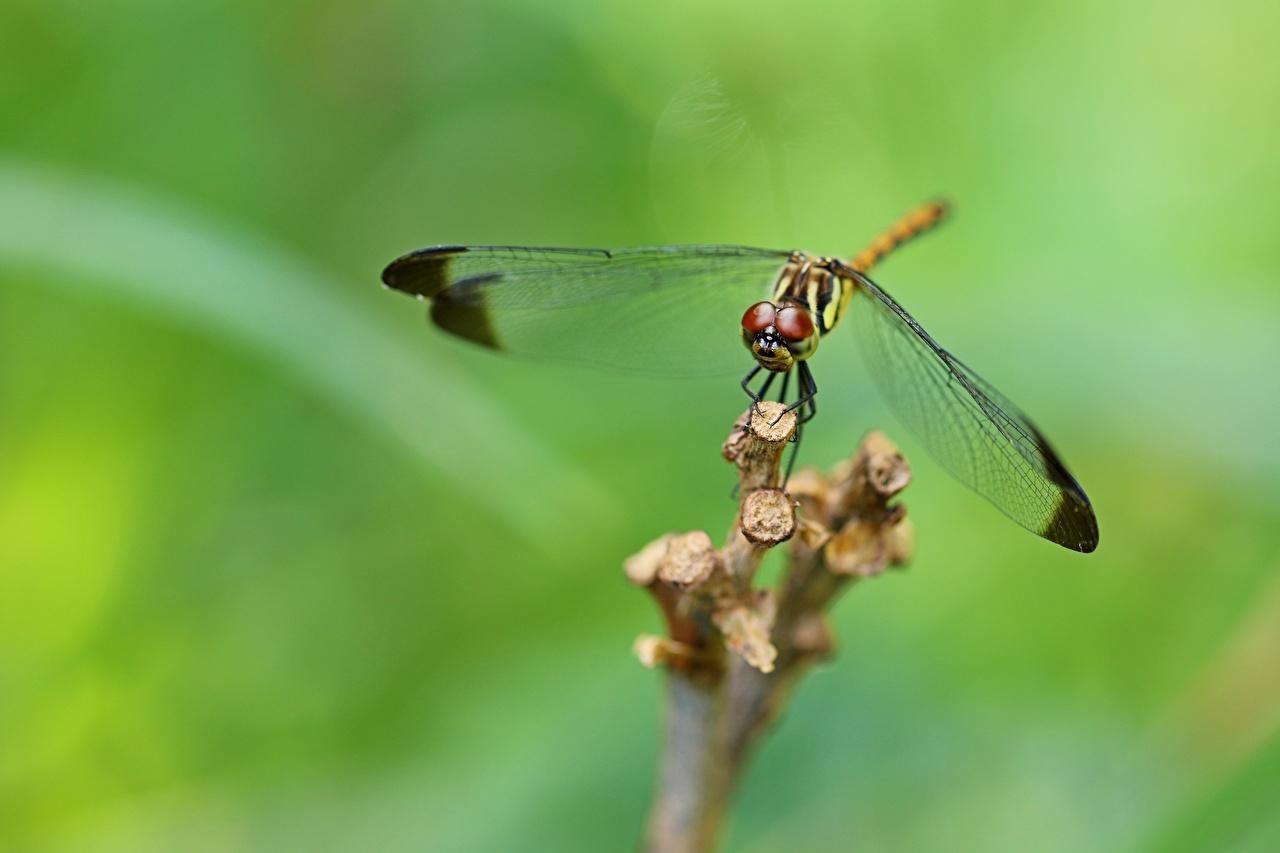 Foto Insekten Libellen Bokeh ein Tier Nahaufnahme unscharfer Hintergrund Tiere hautnah Großansicht