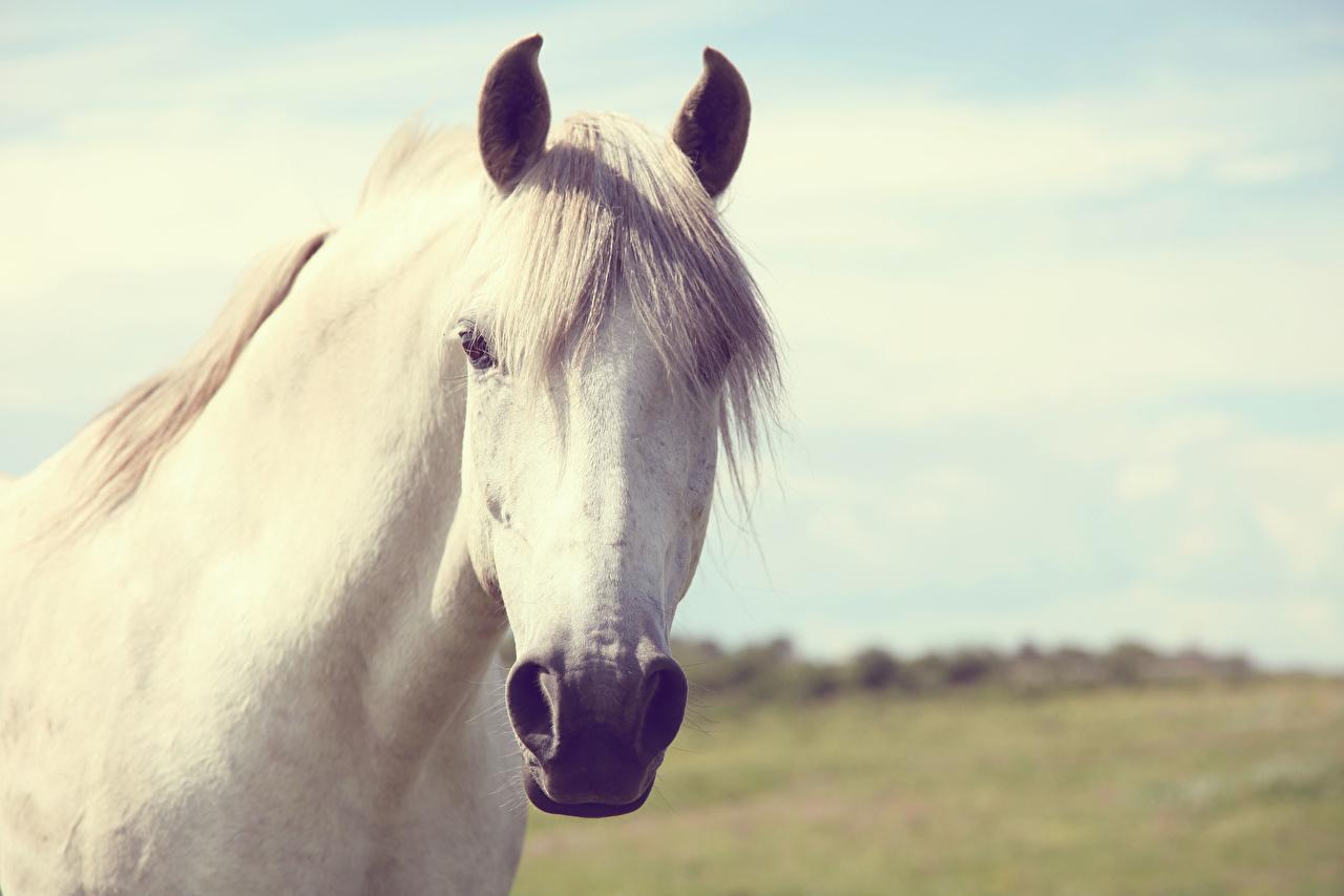 Foto paard witte Hoofd Dieren Paarden Wit een dier