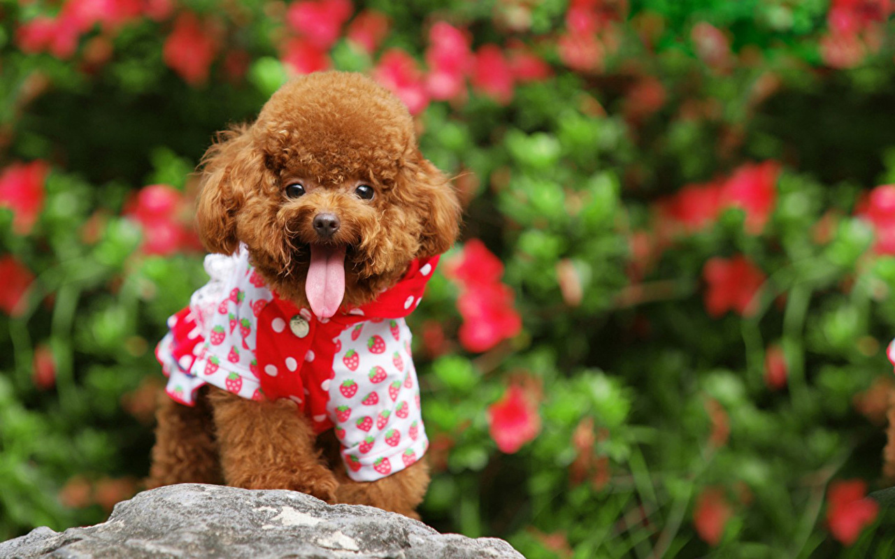 Image Poodle Puppies Dog Animal