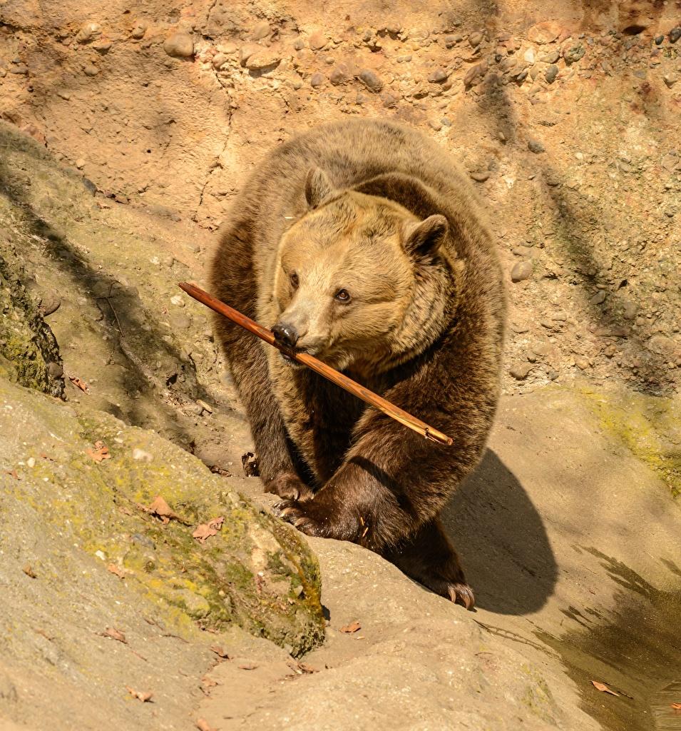 Image Brown Bears Bears Animals Grizzly bear animal