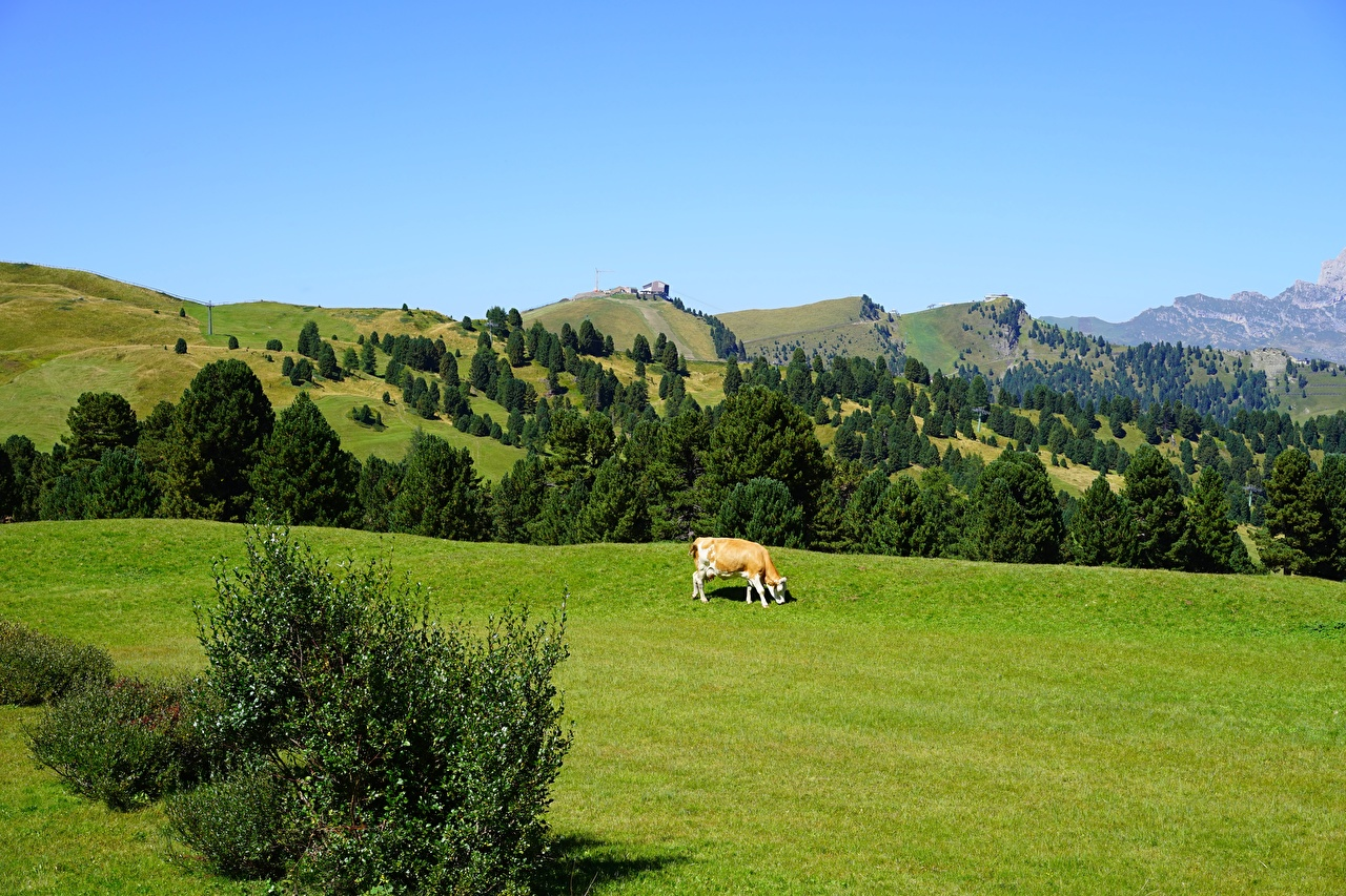 Desktop Wallpapers cows Italy Passo Sella, Dolomites Nature Hill Grasslands Cow Meadow
