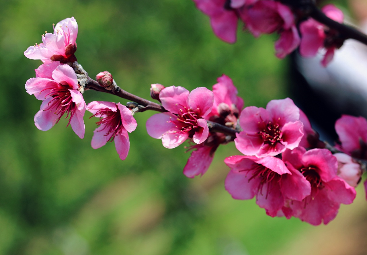 Images Cherry blossom Spring Pink color Flowers Branches Flowering trees Sakura flower