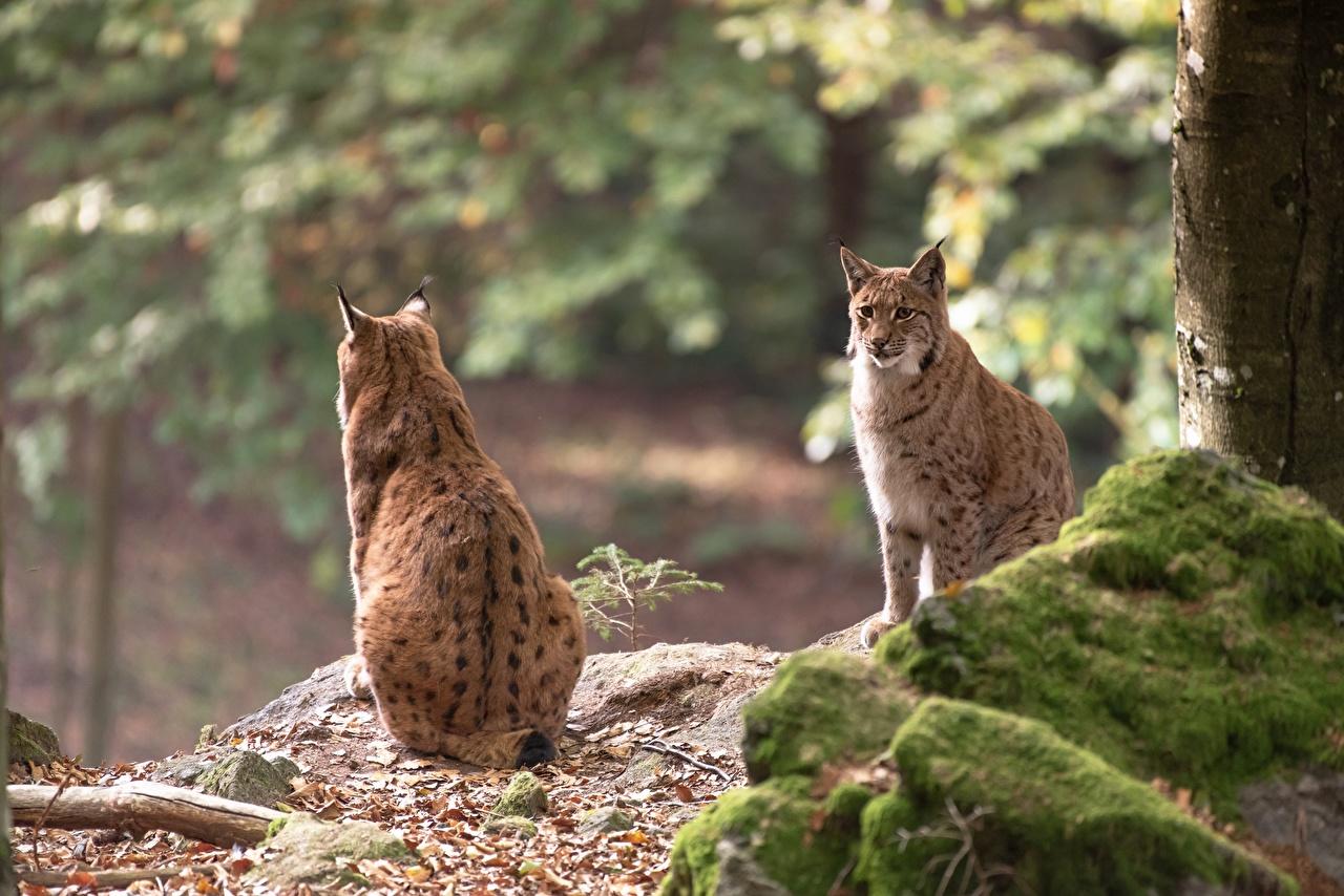 Achtergronden lynx onscherpe achtergrond Twee 2 Mos Stenen Zitten Achteraanzicht Dieren Lynxen Bokeh steen Mossen zittend bladmossen een dier