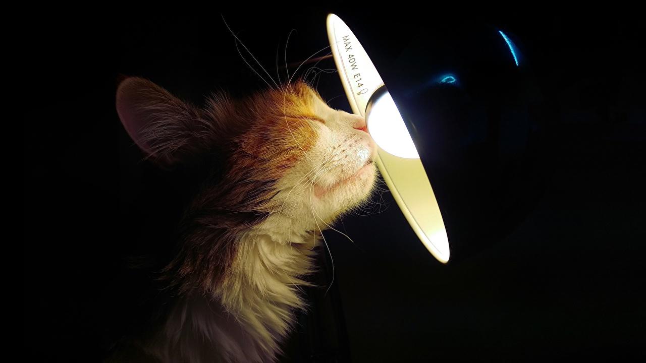 Bilder Katze Glühbirne Lampe Schnauze Tiere Katzen Hauskatze Glühlampe ein Tier