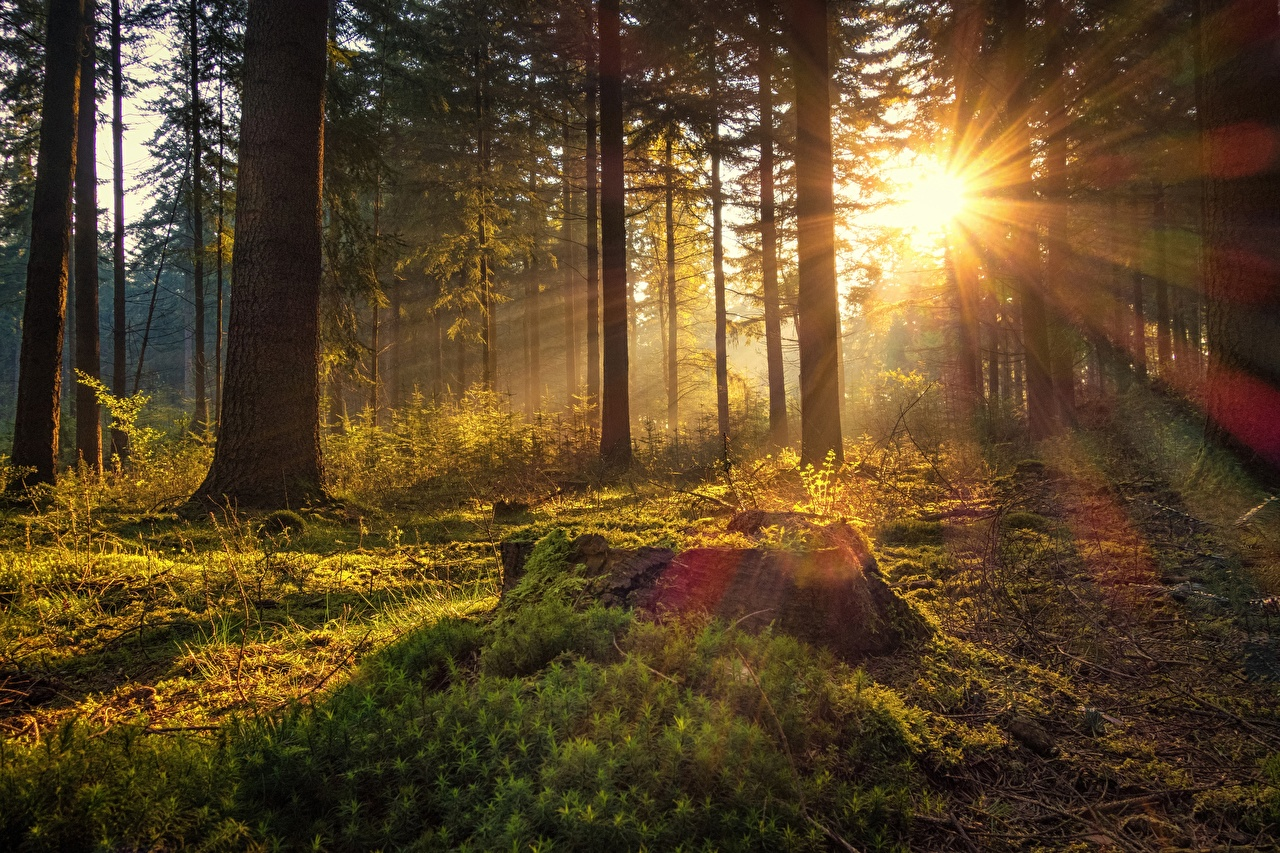 Picture Rays of light Germany Sun Nature forest Morning Moss Trees Forests