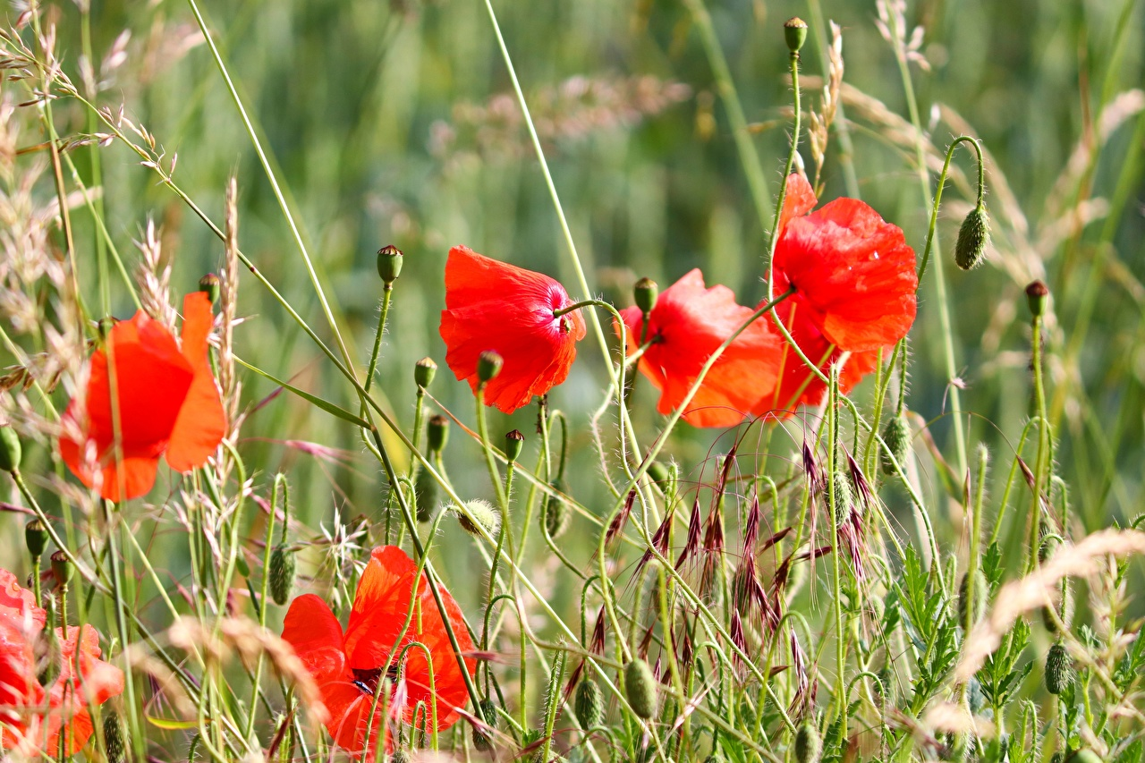 Papoilas Broto Vermelho Grama flor, papaver Flores