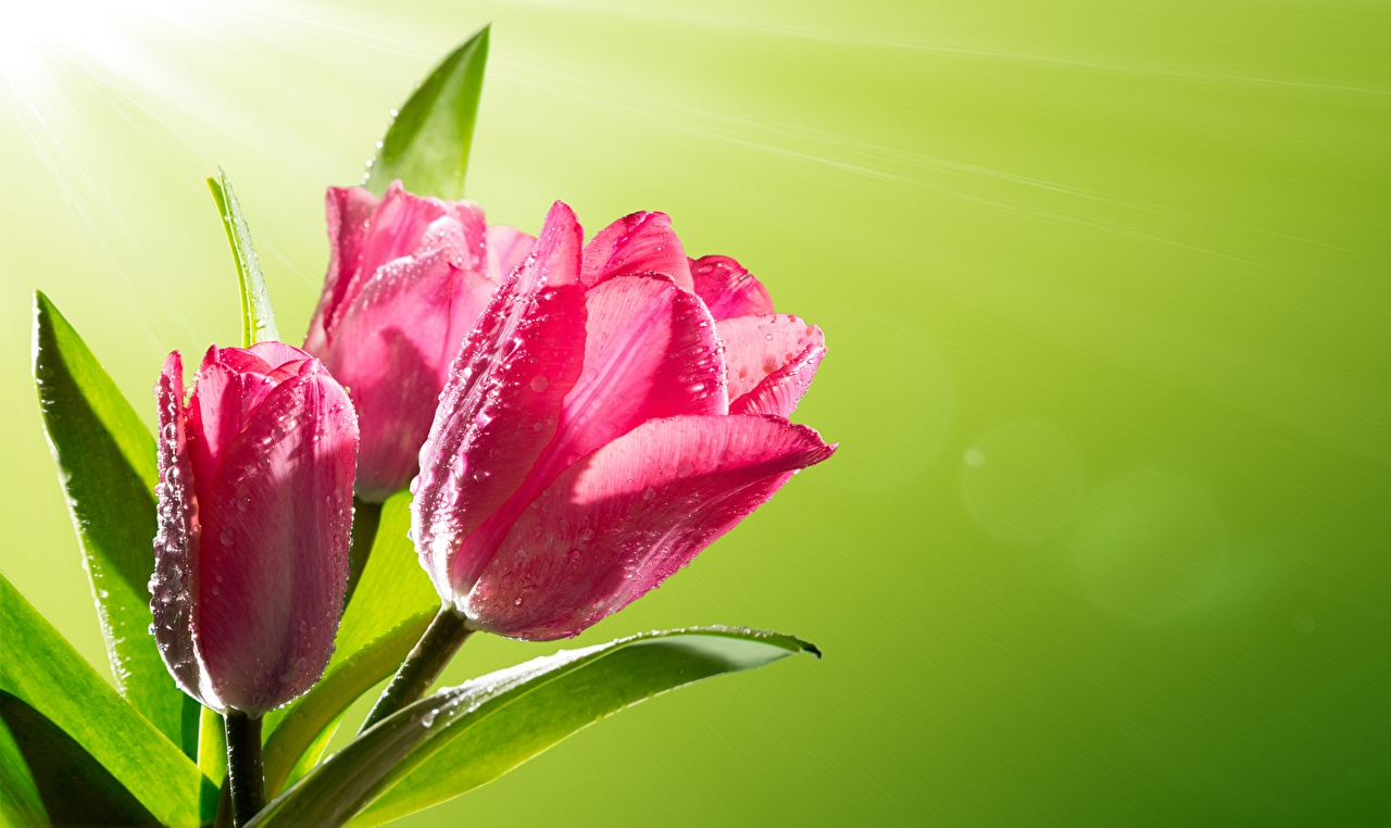 Fotos Tulpen Rosa Farbe Blumen Tropfen hautnah Farbigen hintergrund Blüte Nahaufnahme Großansicht