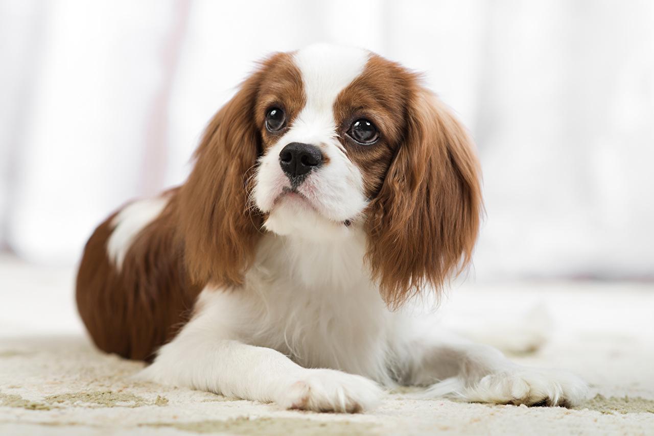 Desktop Wallpapers Spaniel King Charles Spaniel Dogs Staring Animals dog Glance animal