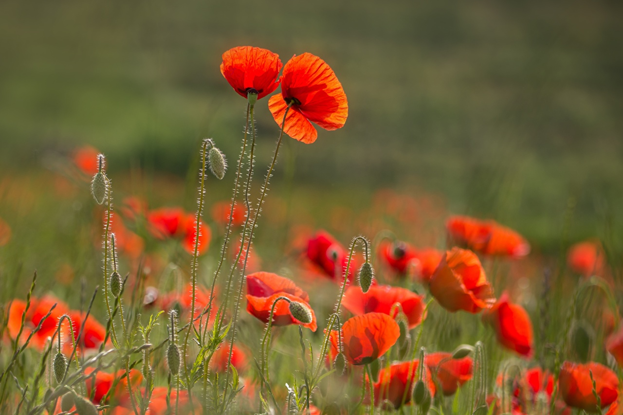 Images blurred background Red flower Poppies Flower-bud Bokeh papaver Flowers