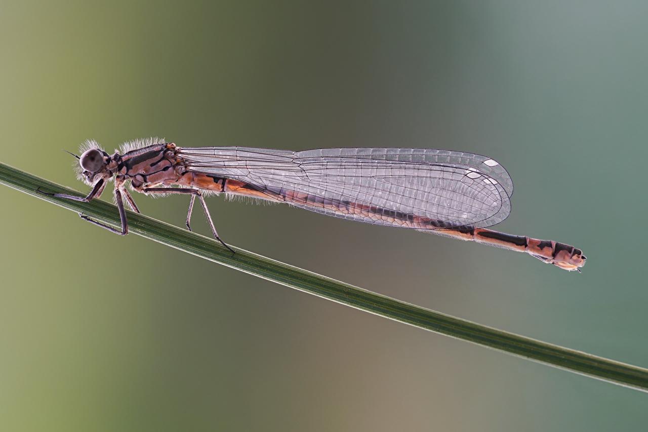 ,蜻蜓,昆虫,特寫,coenagrion pulchellum,,動物,