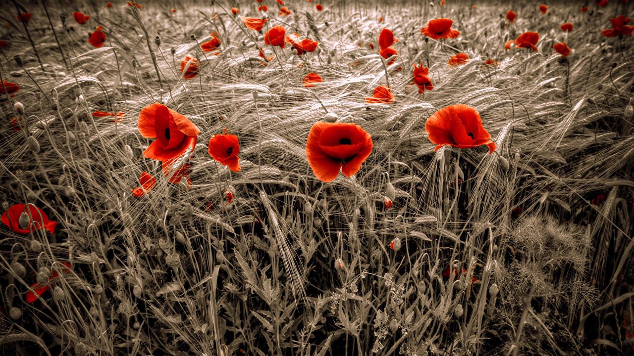 、ポピー、たくさん、畑、小麦、赤、花穂、��シ属、コムギ、花、
