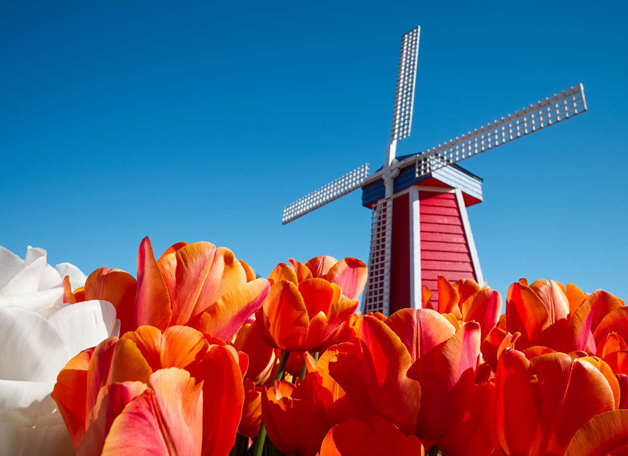 Picture Netherlands windmill Red Tulips Sky flower Closeup Mill windmills tulip Flowers