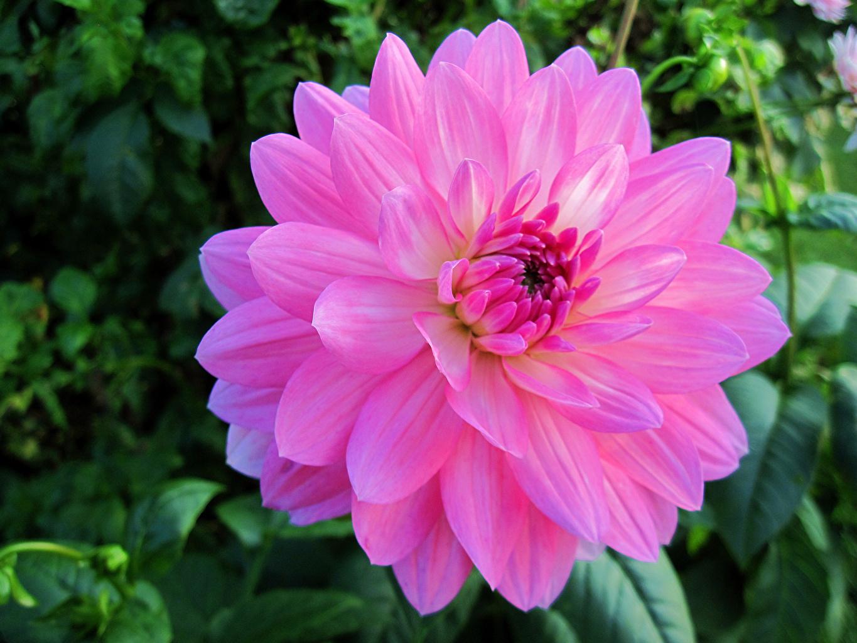 Foto Bokeh Rosa Farbe Blumen Dahlien Großansicht unscharfer Hintergrund Blüte Georginen hautnah Nahaufnahme