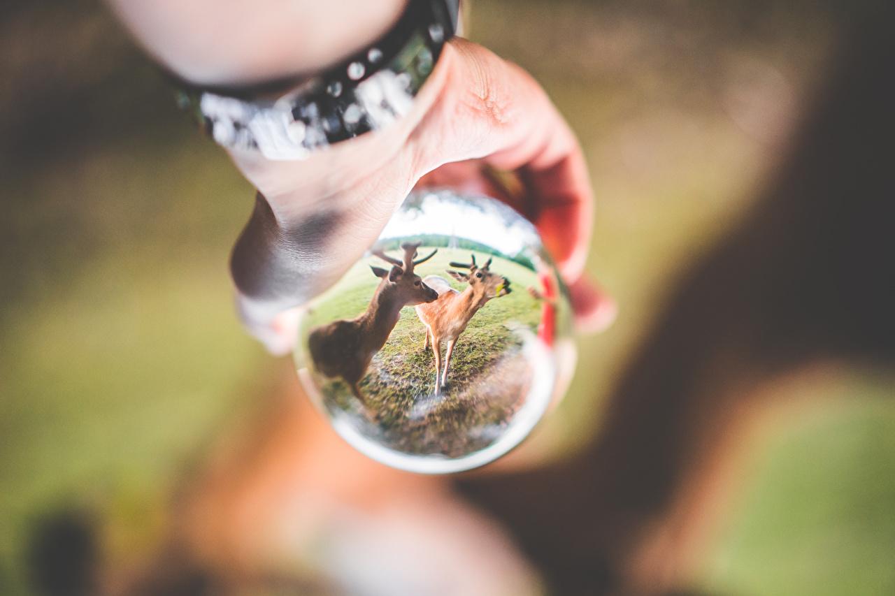 Fotos von Hirsche Bokeh Spiegelung Spiegelbild Hand Glas Kugeln ein Tier unscharfer Hintergrund spiegelt Reflexion Tiere
