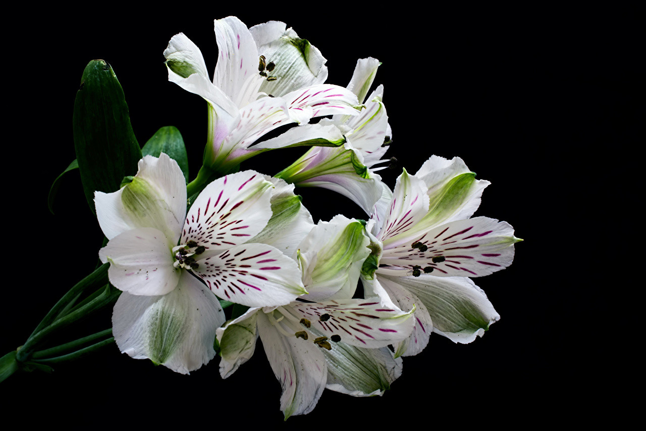 Image White Flower Alstroemeria Closeup Black Background