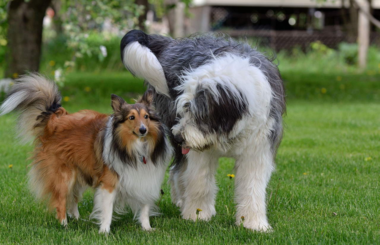Images Collie Old English Sheepdog dog Grass Animals Dogs animal