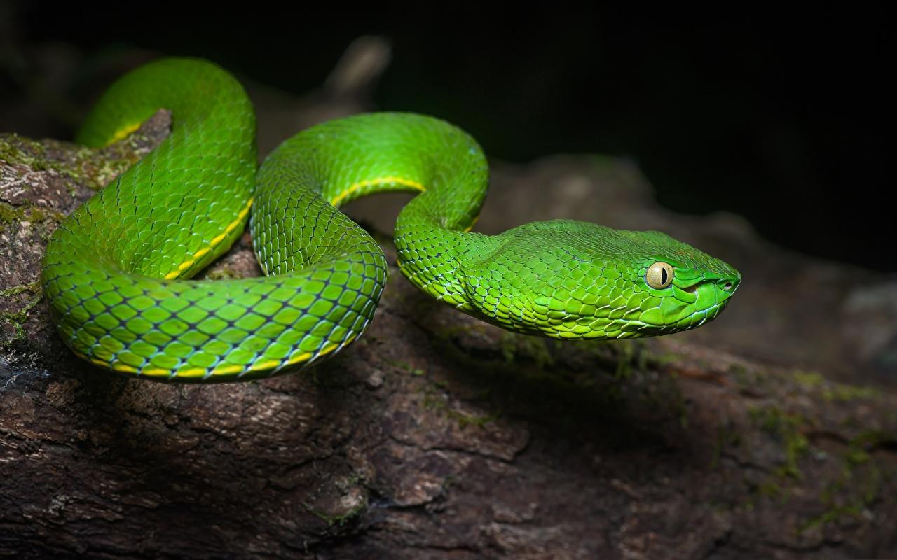 Bilder Schlangen Grün Tiere hautnah ein Tier Nahaufnahme Großansicht