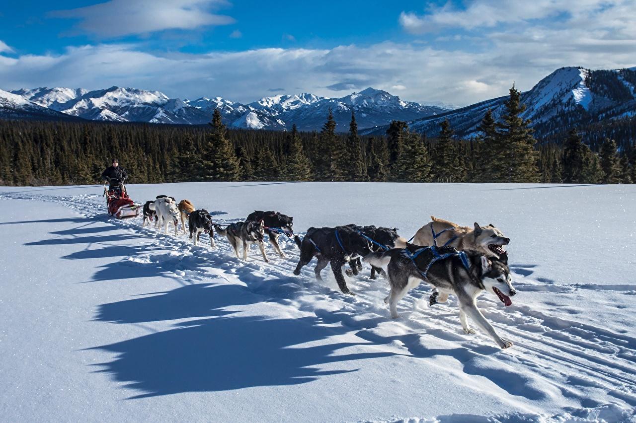 Fotos Siberian Husky Hunde Schatten Lauf Schlitten Winter Gebirge Schnee Wälder Tiere Laufen Laufsport ein Tier