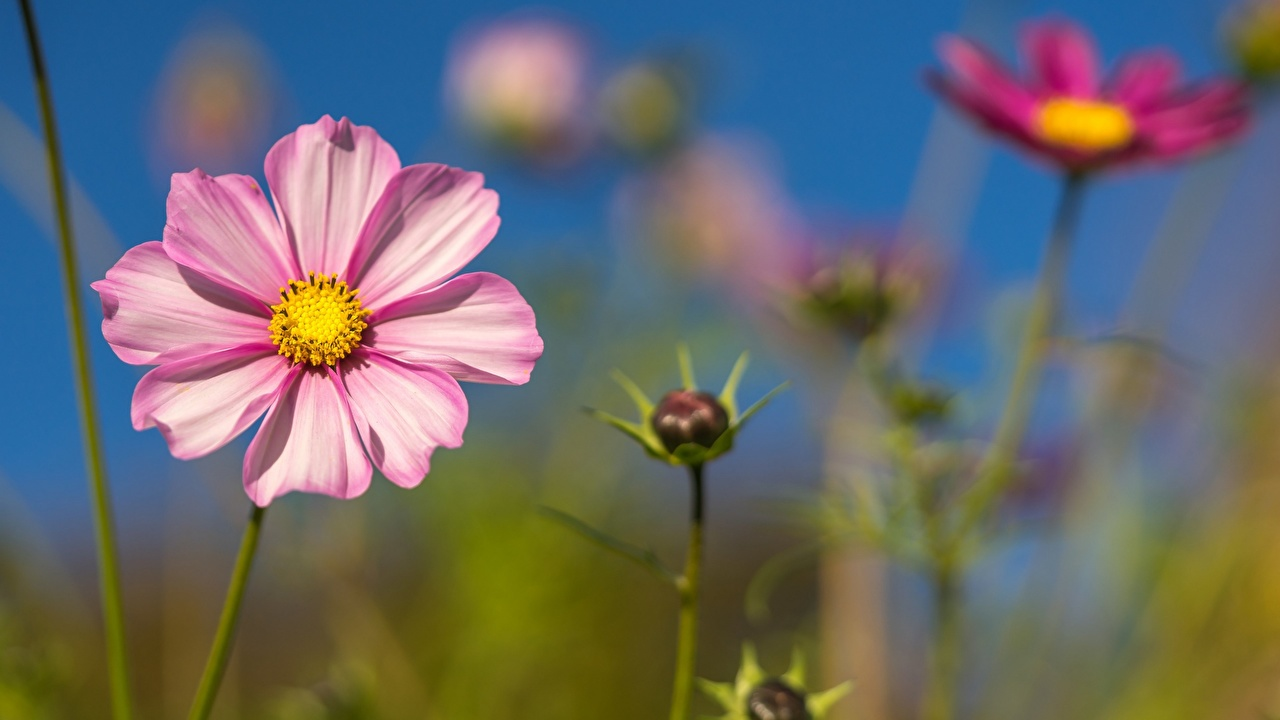 ,特寫,秋英屬,散景,粉红色,花卉,