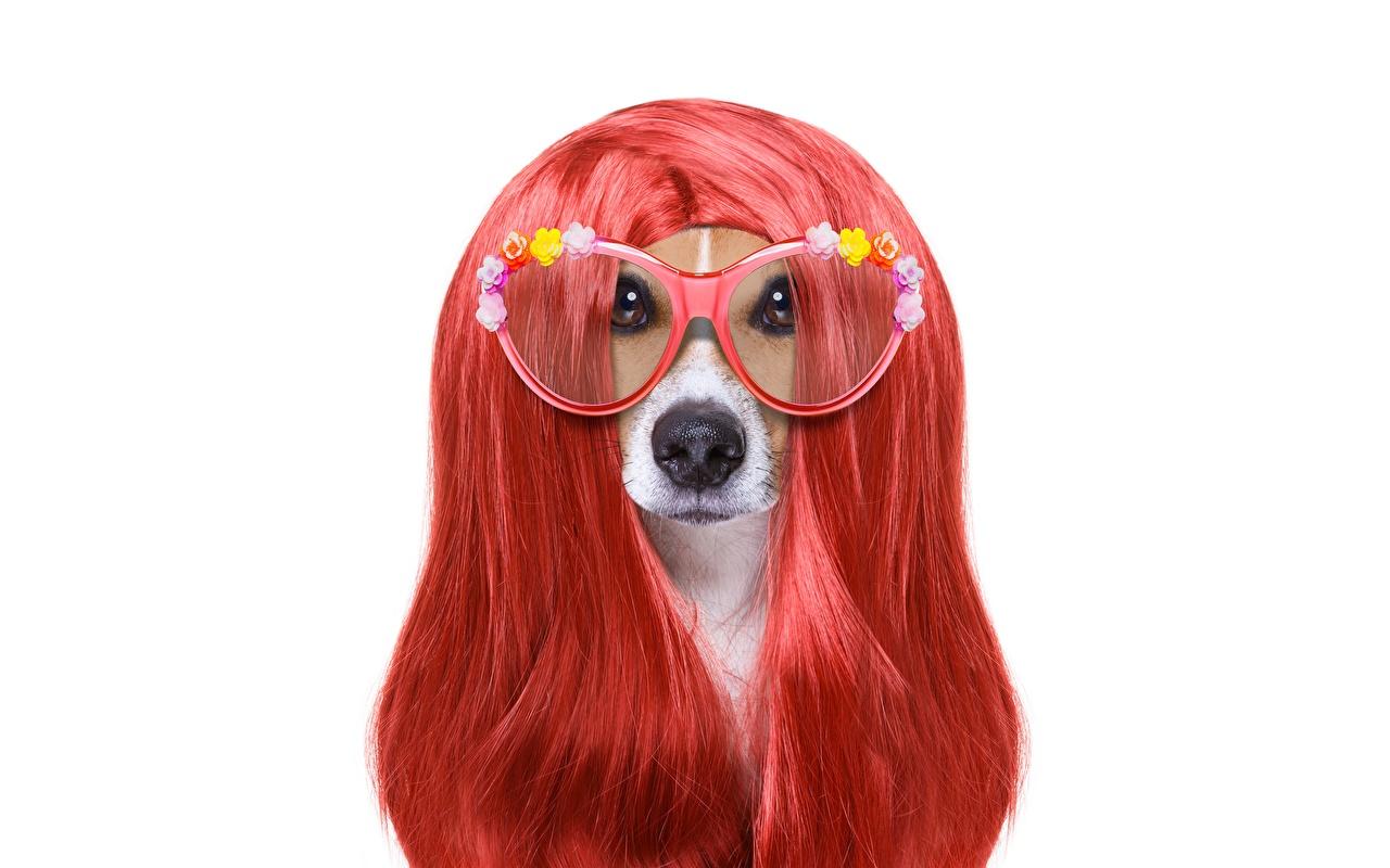 Photos Jack Russell terrier Dogs Hair Ginger color Glasses animal White background dog red orange eyeglasses Animals