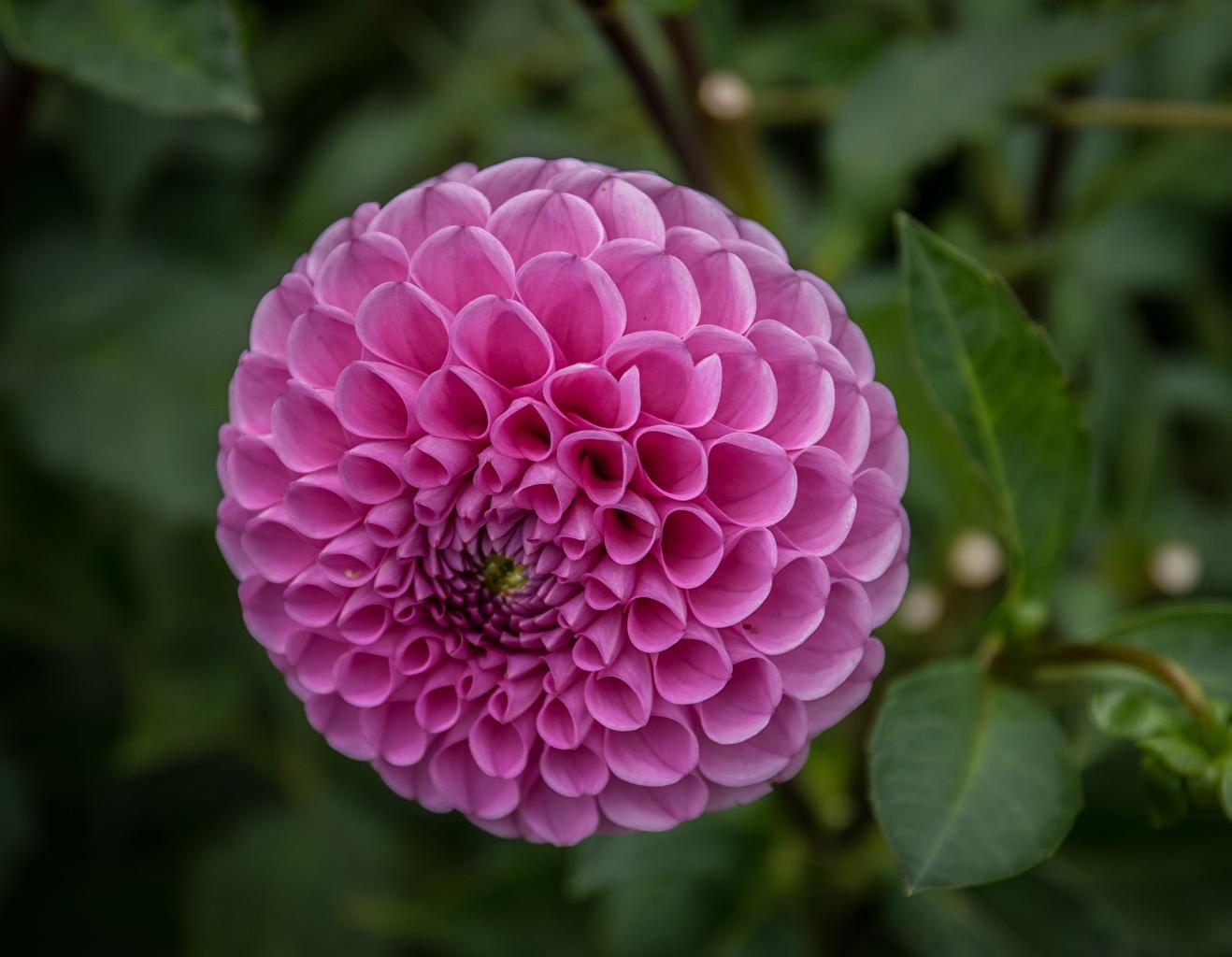 Fotos von Kreise Rosa Farbe Blumen Dahlien Nahaufnahme Kreis Blüte Georginen hautnah Großansicht