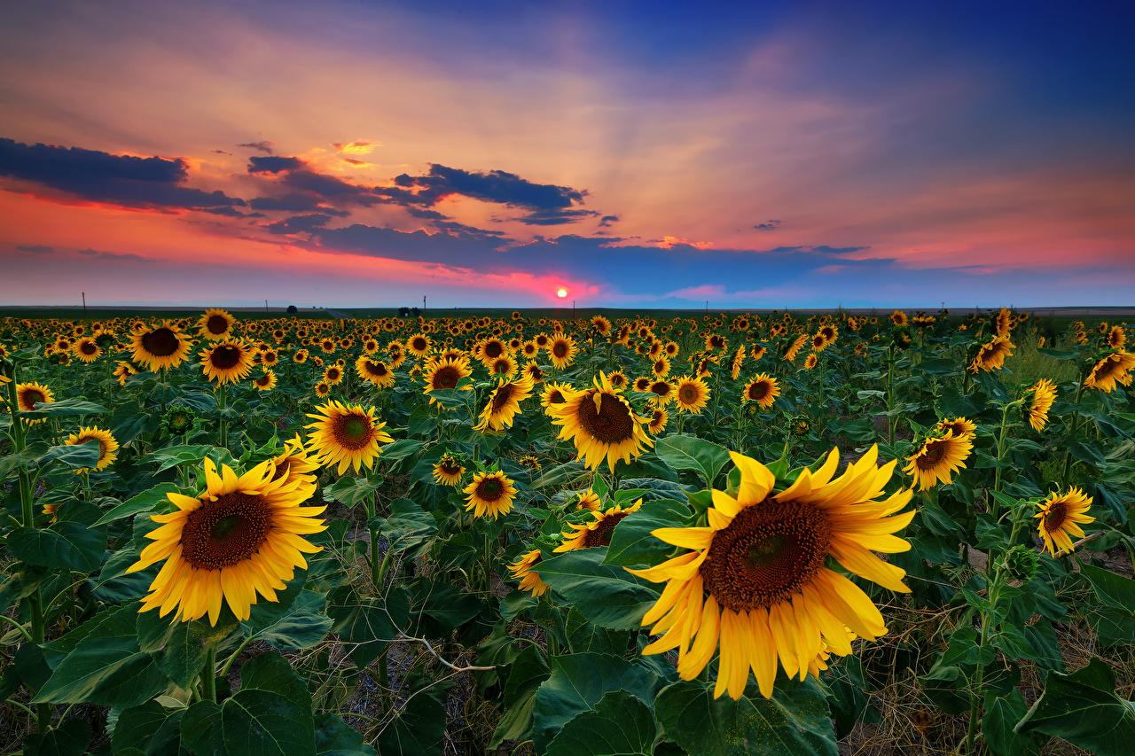 Images USA Denver Nature Sky Fields Sunflowers sunrise and sunset Horizon Helianthus Sunrises and sunsets