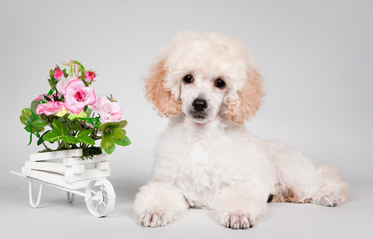 Desktop Wallpapers Poodle Puppies Dog White Animal