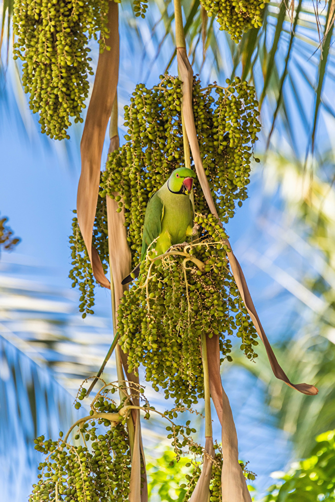Pictures bird Parrots Olive Branches Animals  for Mobile phone Birds parrot animal