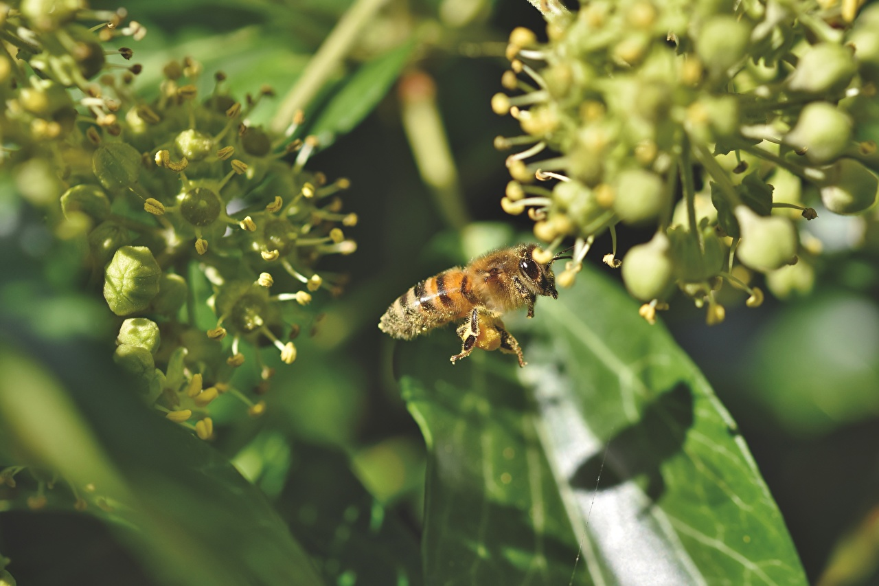 Images Bees Insects blurred background animal Closeup Bokeh Animals