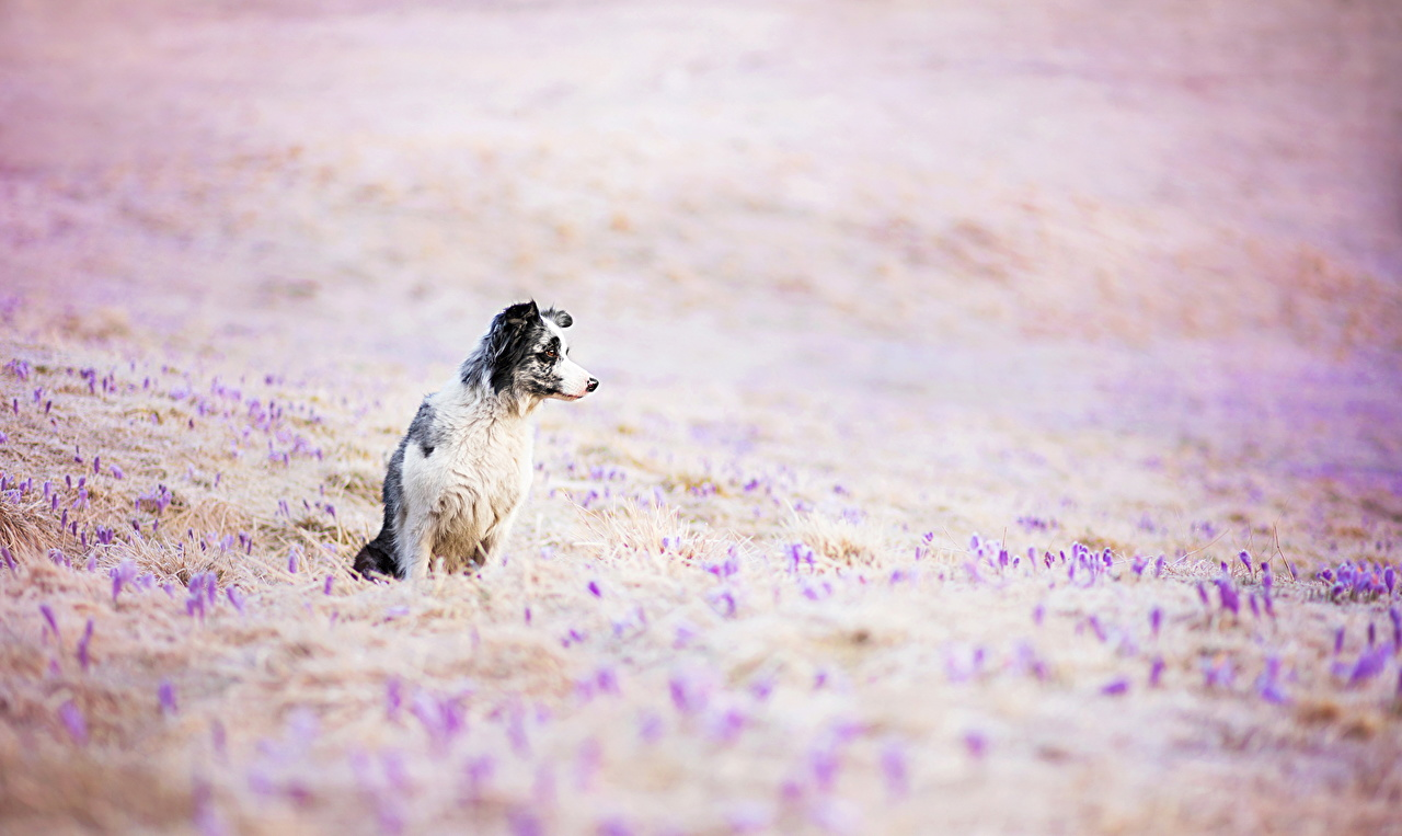 Wallpaper Border Collie Dogs animal dog Animals