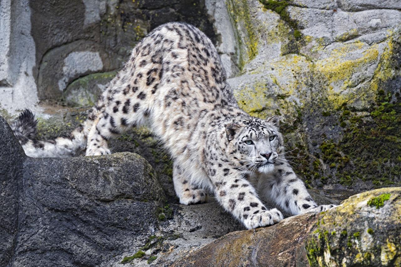 Photos Snow leopards posing Paws Stones Animals Pose stone animal