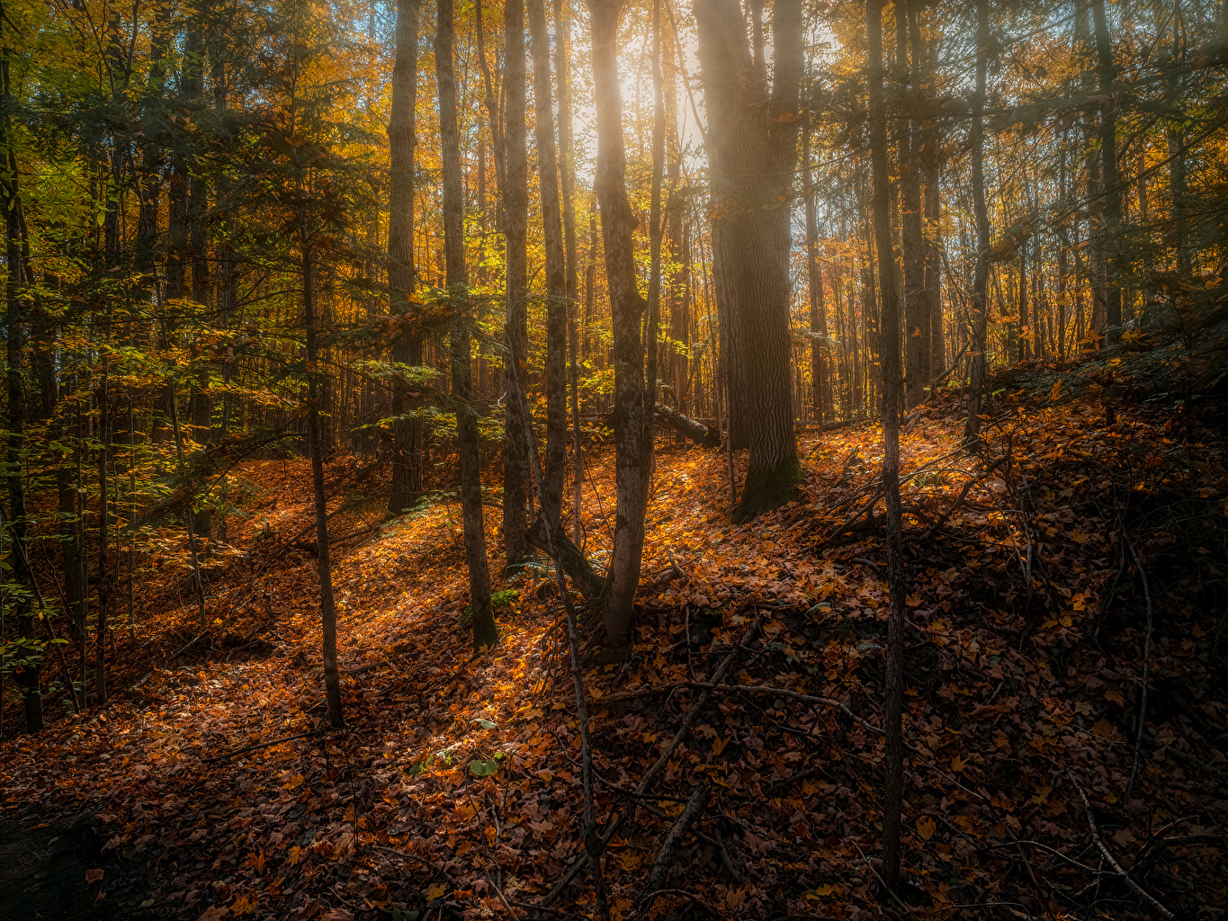 Pictures Leaf Canada Copeland forest near Barrie Autumn Nature Trees Foliage Forests