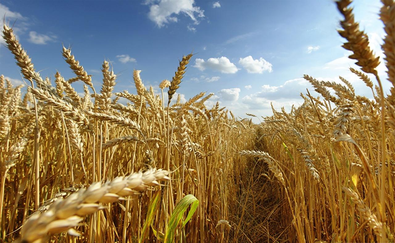 Fotos Weg Natur Weizen Ähre Acker spitze Ähren Felder spitzen