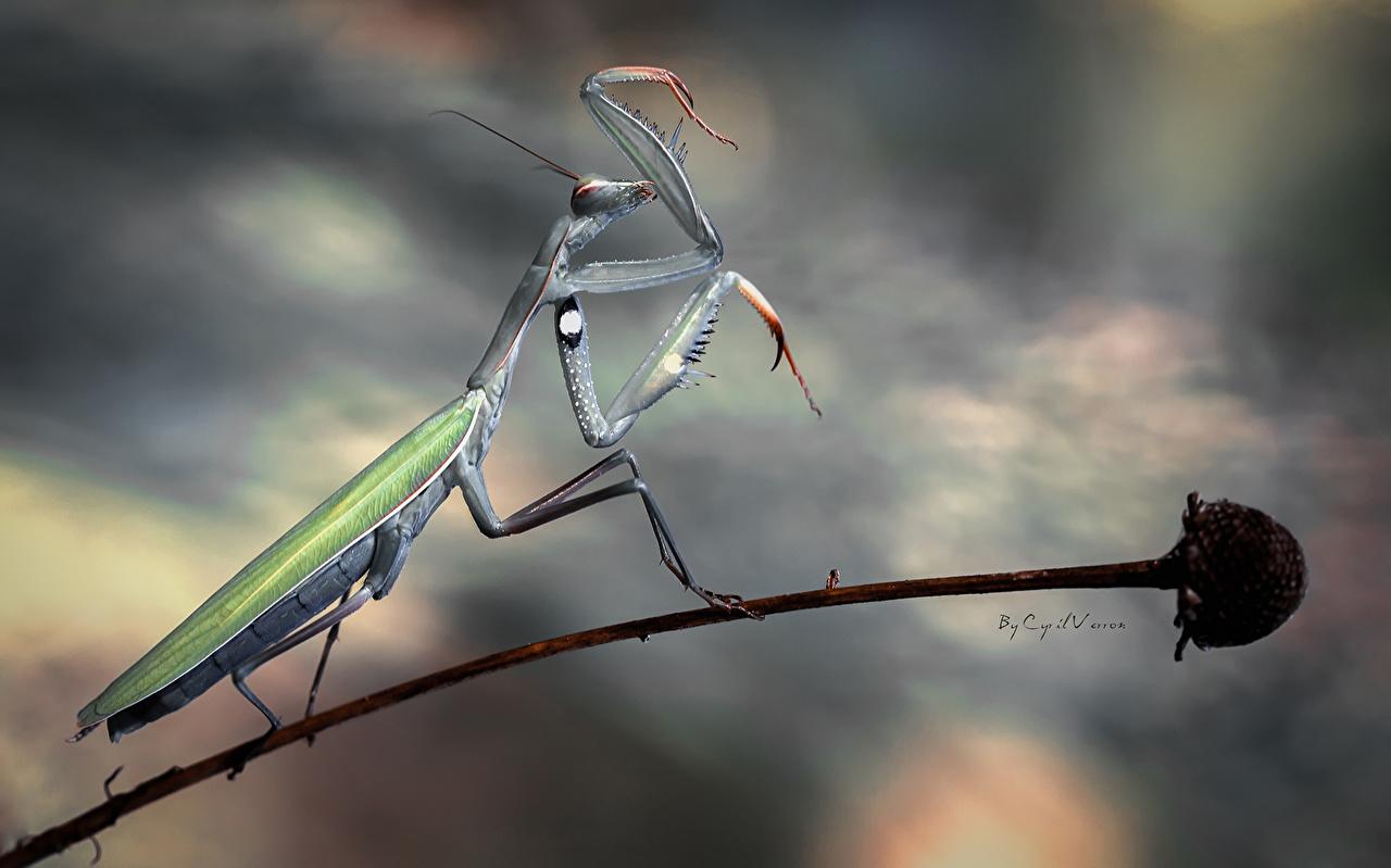 Photos Mantis Insects animal mantodea Animals