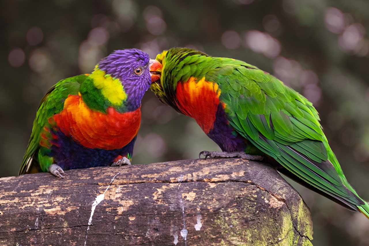 Pictures Birds Parrots Two animal bird parrot 2 Animals