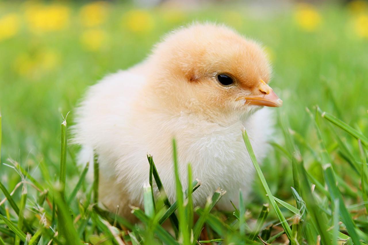 Bilder von Hühner Gras hautnah ein Tier Tiere Nahaufnahme Großansicht