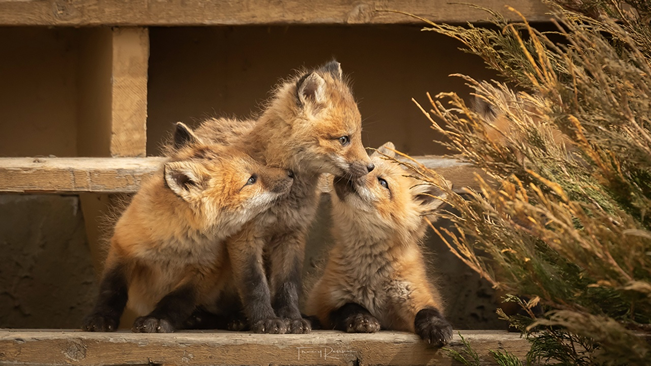 Wallpaper Foxes Cubs Three 3 animal Animals