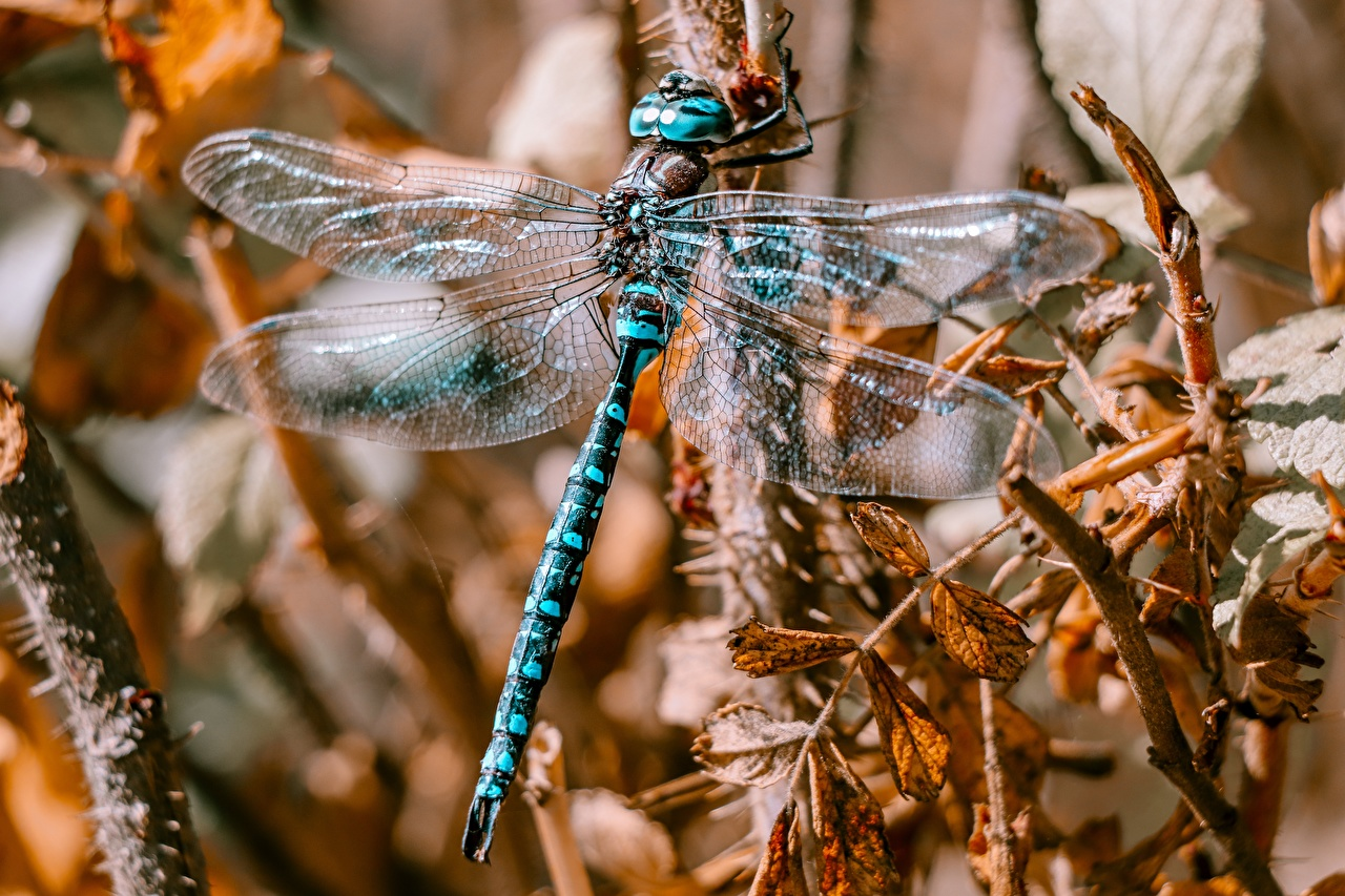 Wallpaper Dragonflies Wings Closeup Animals odonata dragonfly animal