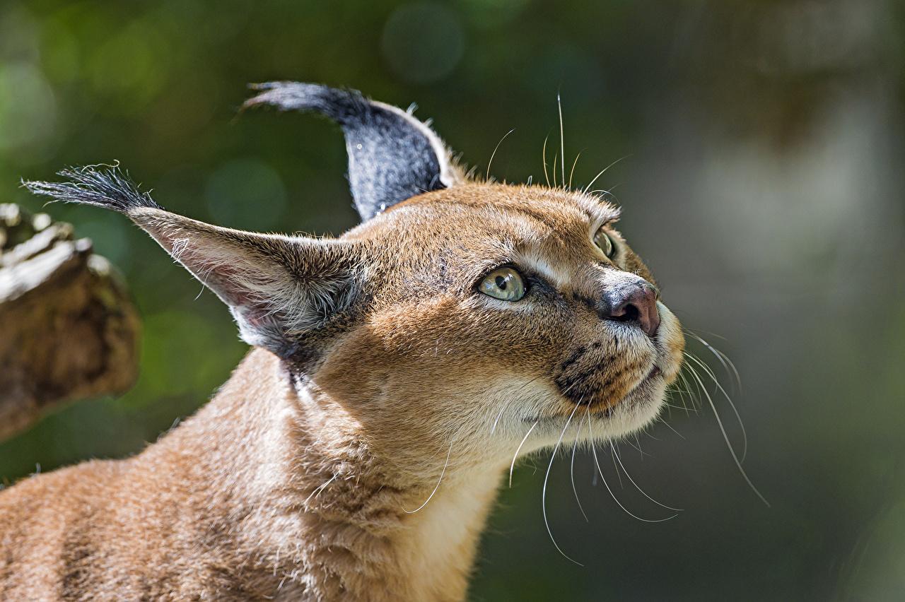 Images Lynx Glance animal ©Tambako The Jaguar lynxes Staring Animals