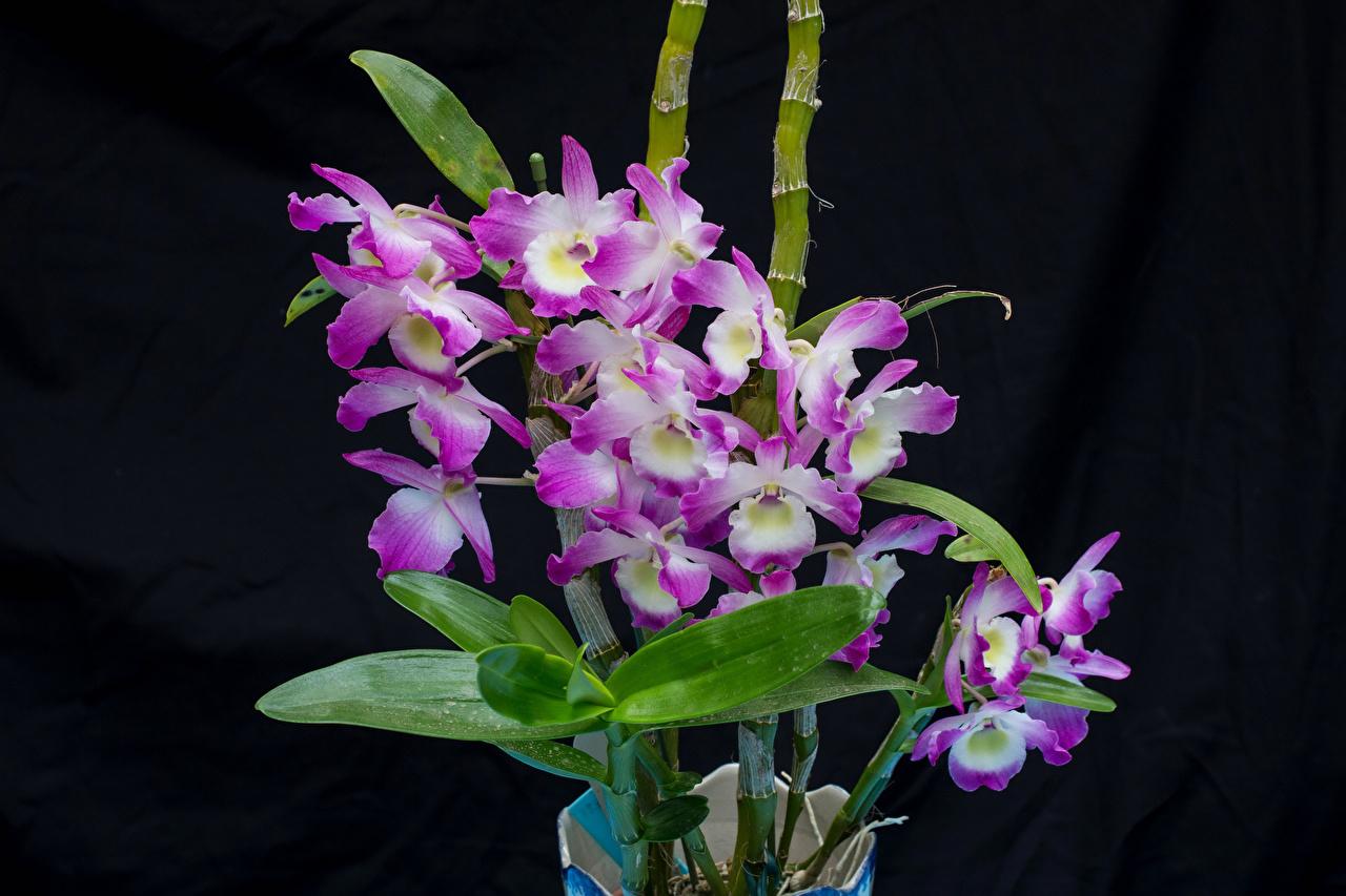 Fonds D Ecran Orchidees En Gros Plan Fond Noir Fleurs