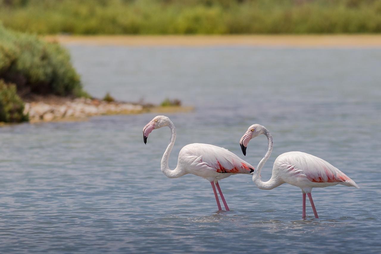 Desktop Wallpapers bird Flamingo 2 Water Animals Birds Two animal