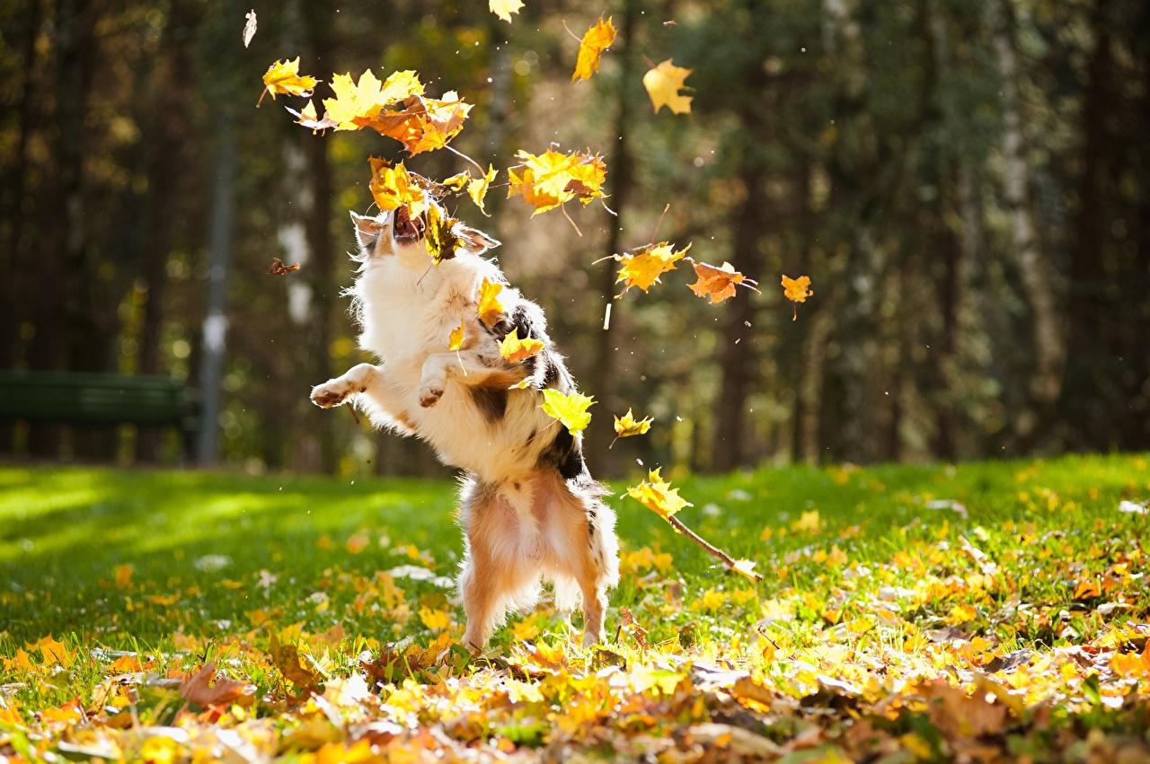 Images Dogs Leaf play Autumn Animals dog Foliage Playing animal