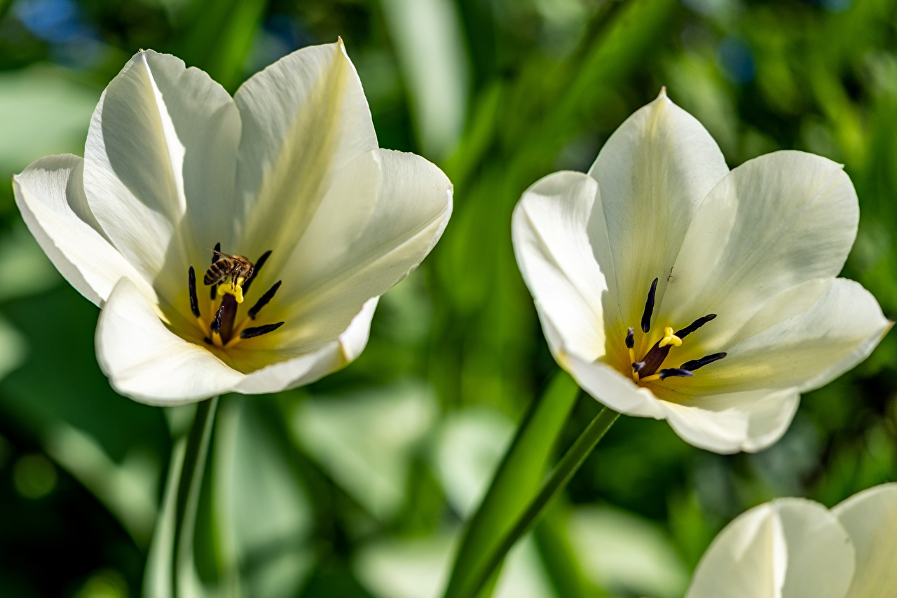 Picture Bees Insects tulip White flower Tulips Flowers