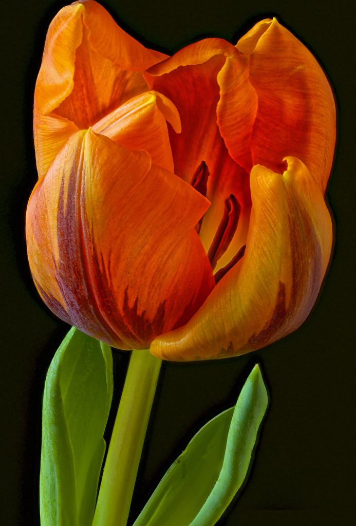 Fotos Orange Tulpen Blüte Nahaufnahme Schwarzer Hintergrund  für Handy Blumen hautnah Großansicht
