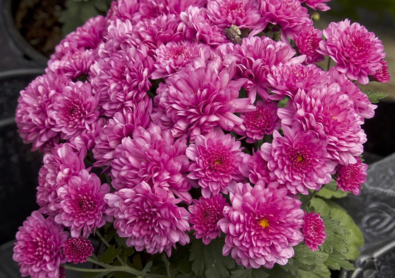 Chrysanthemum Muitas Cor-de-rosa flor, crisântemos Flores