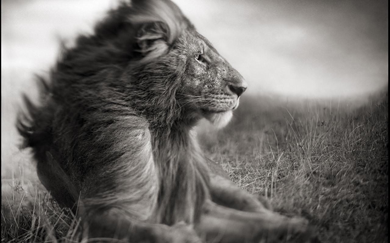 Bilder Von Löwe Große Katze Schwarzweiss Tiere